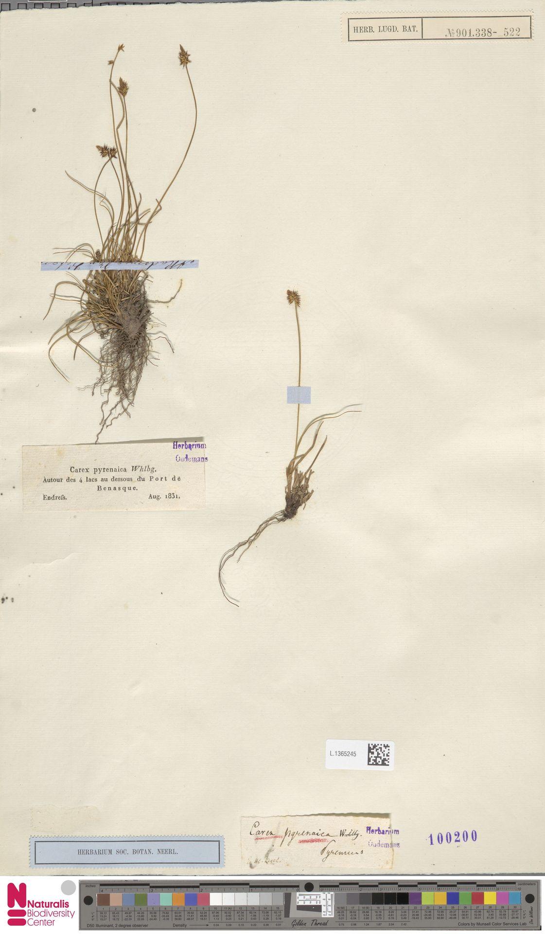L.1365245 | Carex pyrenaica Wahlenb.