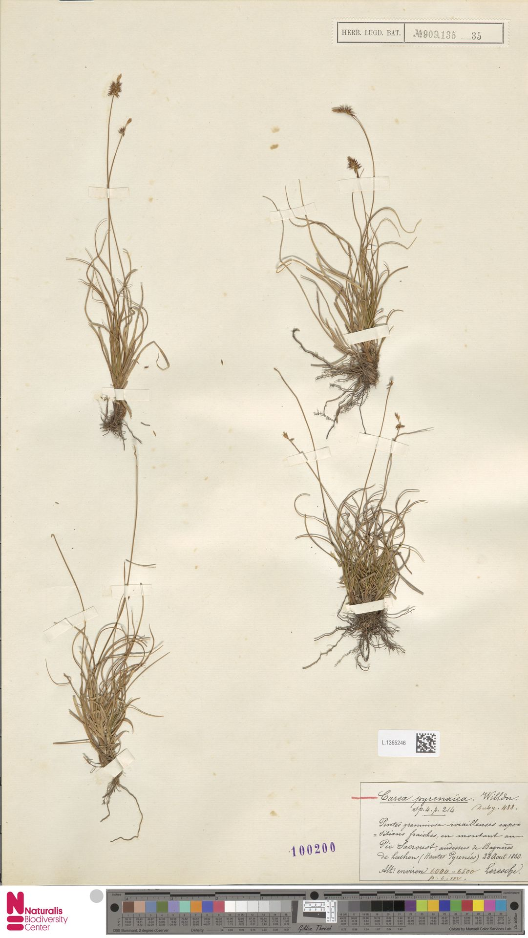 L.1365246 | Carex pyrenaica Wahlenb.