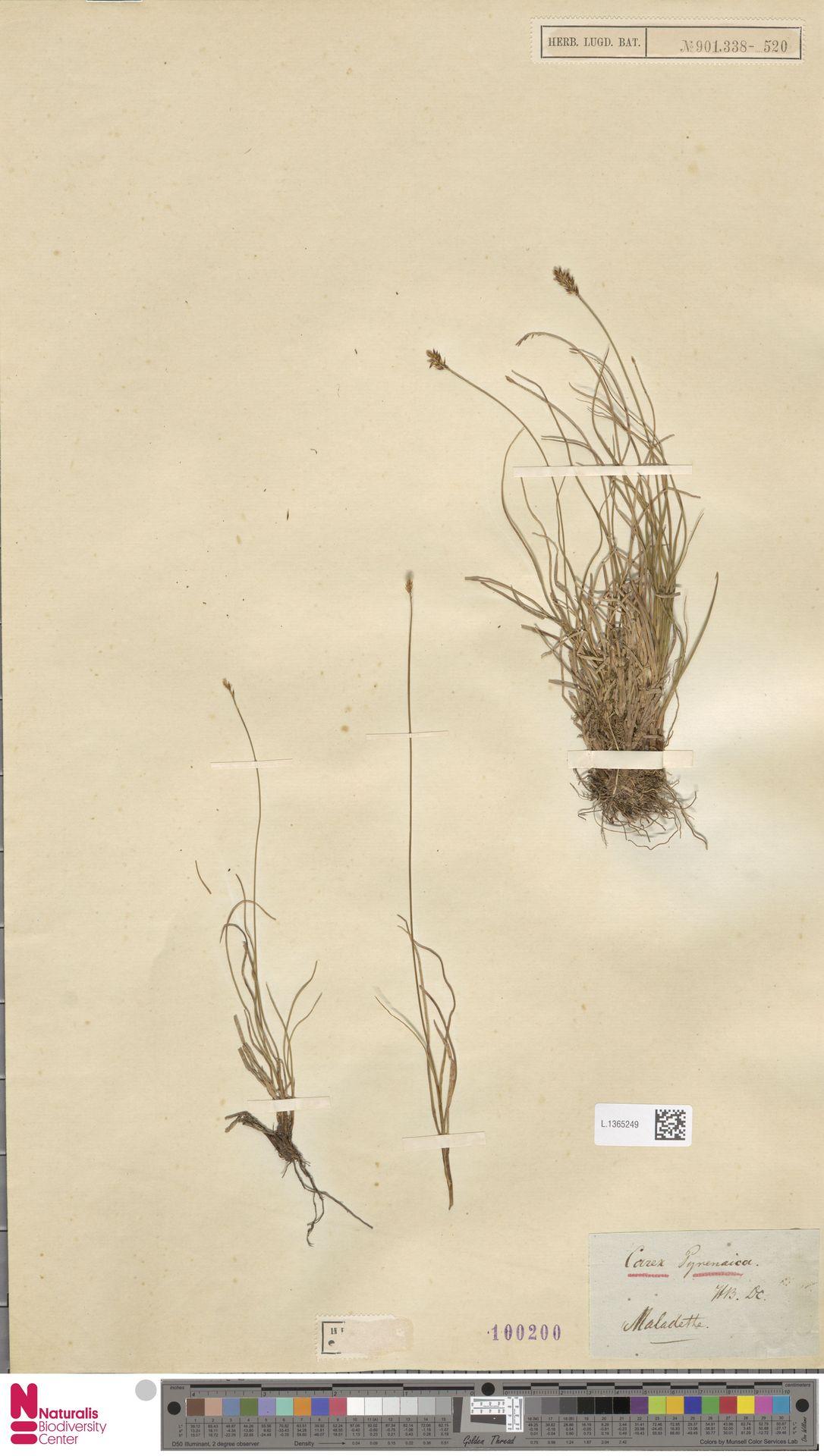 L.1365249 | Carex pyrenaica Wahlenb.