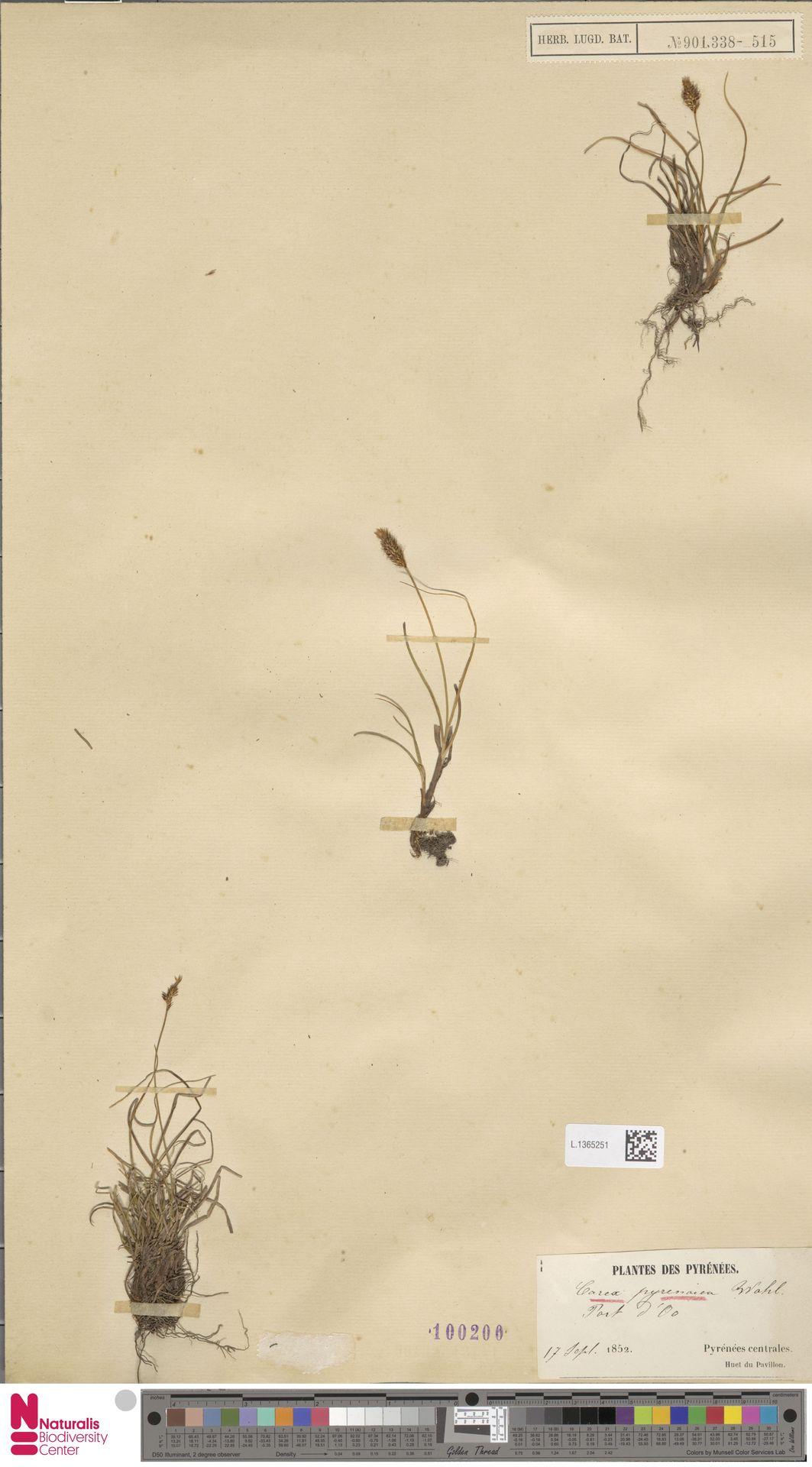 L.1365251 | Carex pyrenaica Wahlenb.