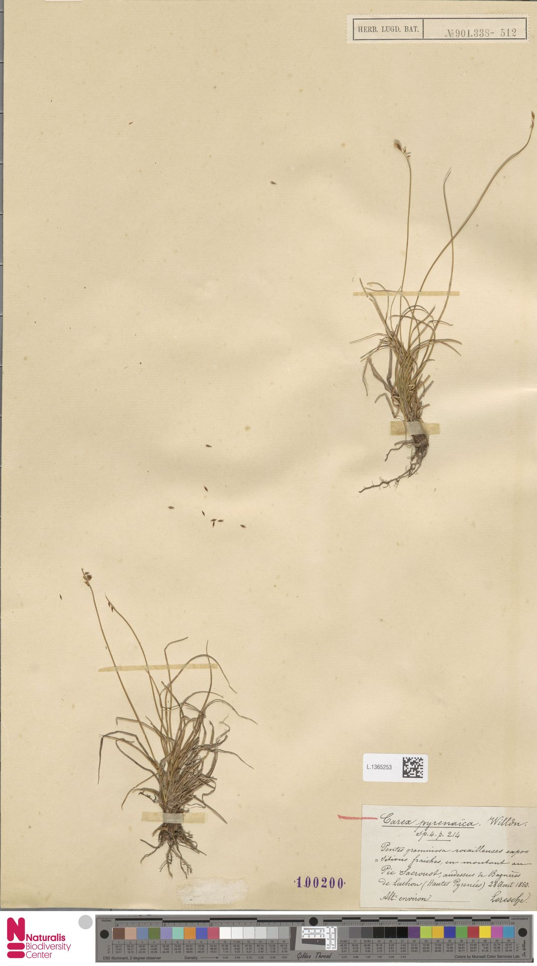 L.1365253 | Carex pyrenaica Wahlenb.