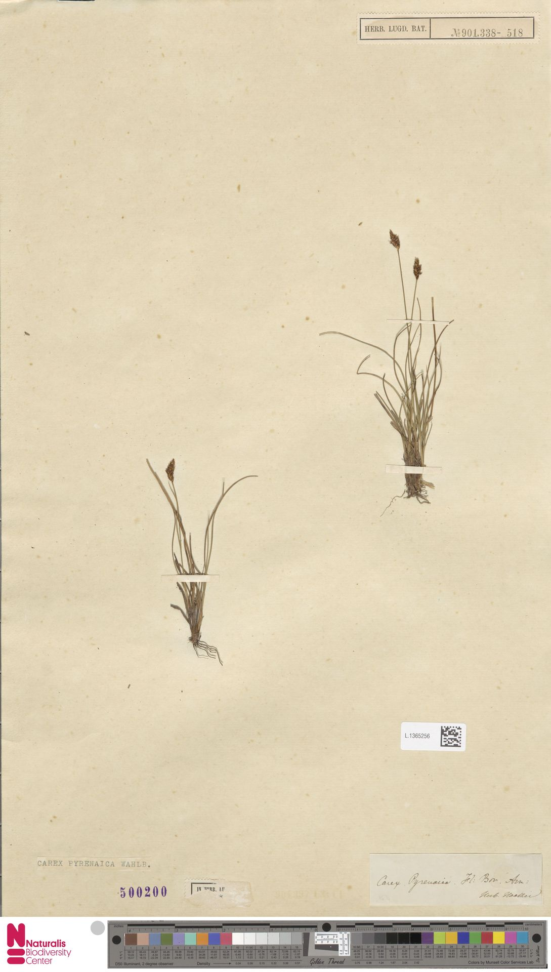L.1365256 | Carex pyrenaica Wahlenb.