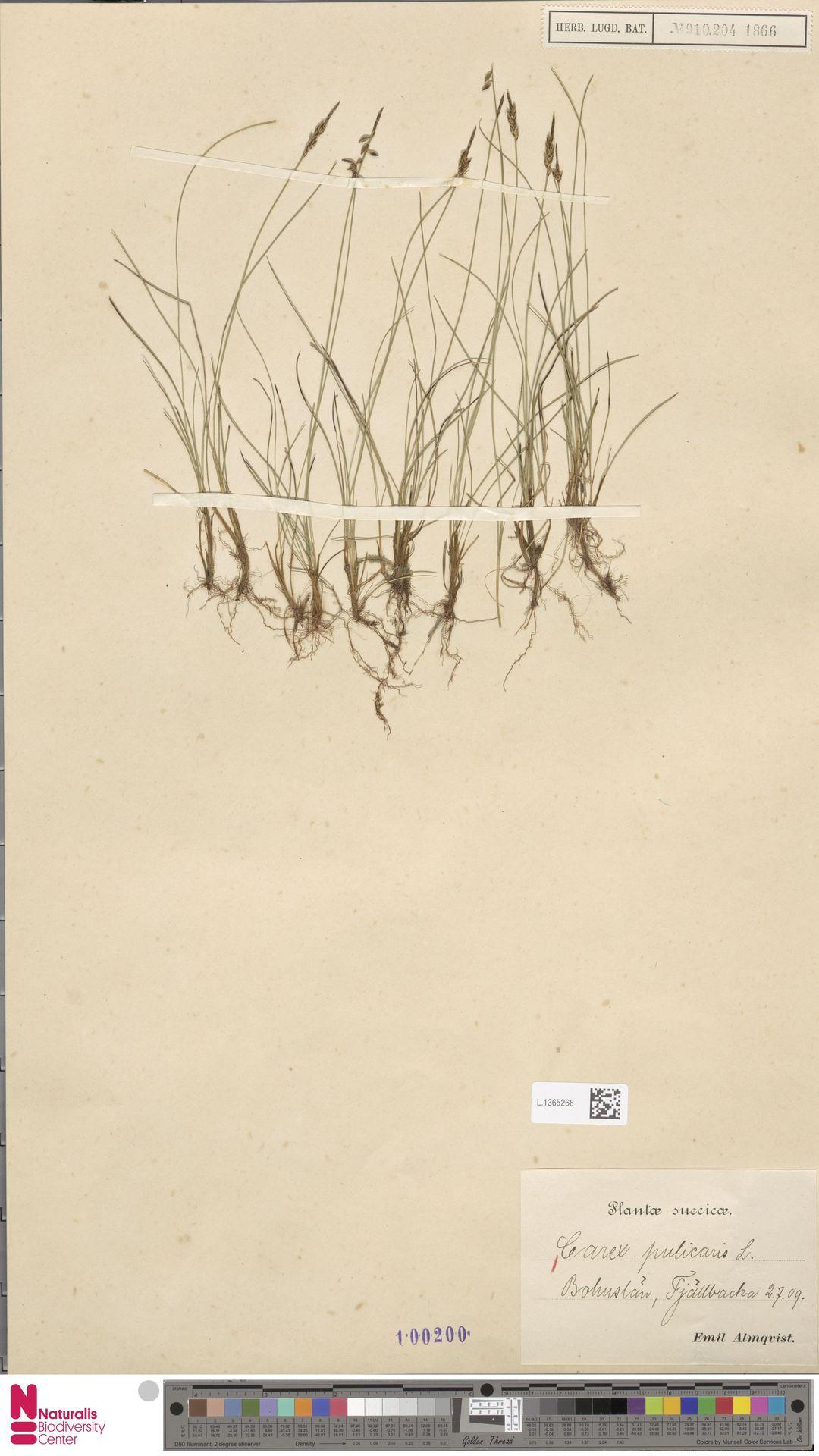 L.1365268 | Carex pulicaris L.