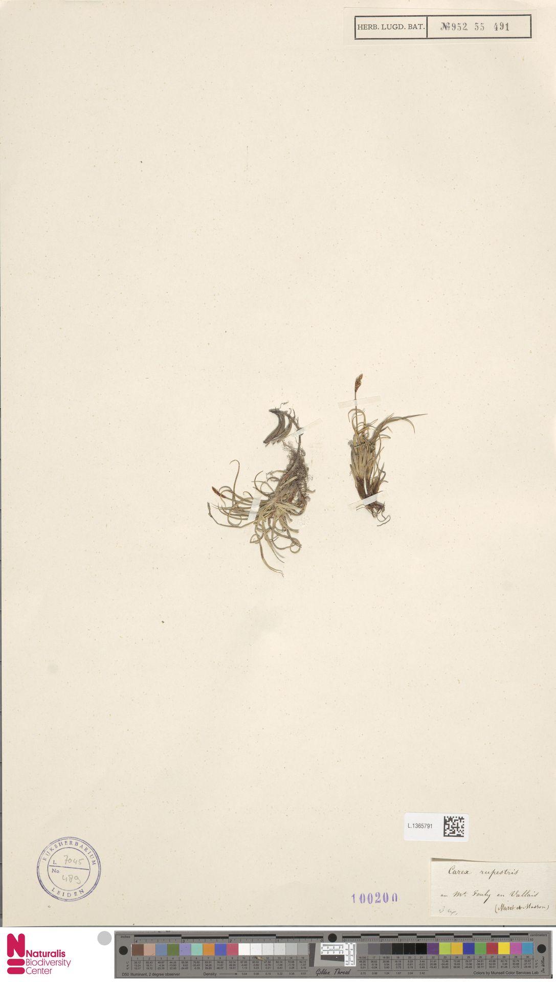 L.1365791 | Carex rupestris All.