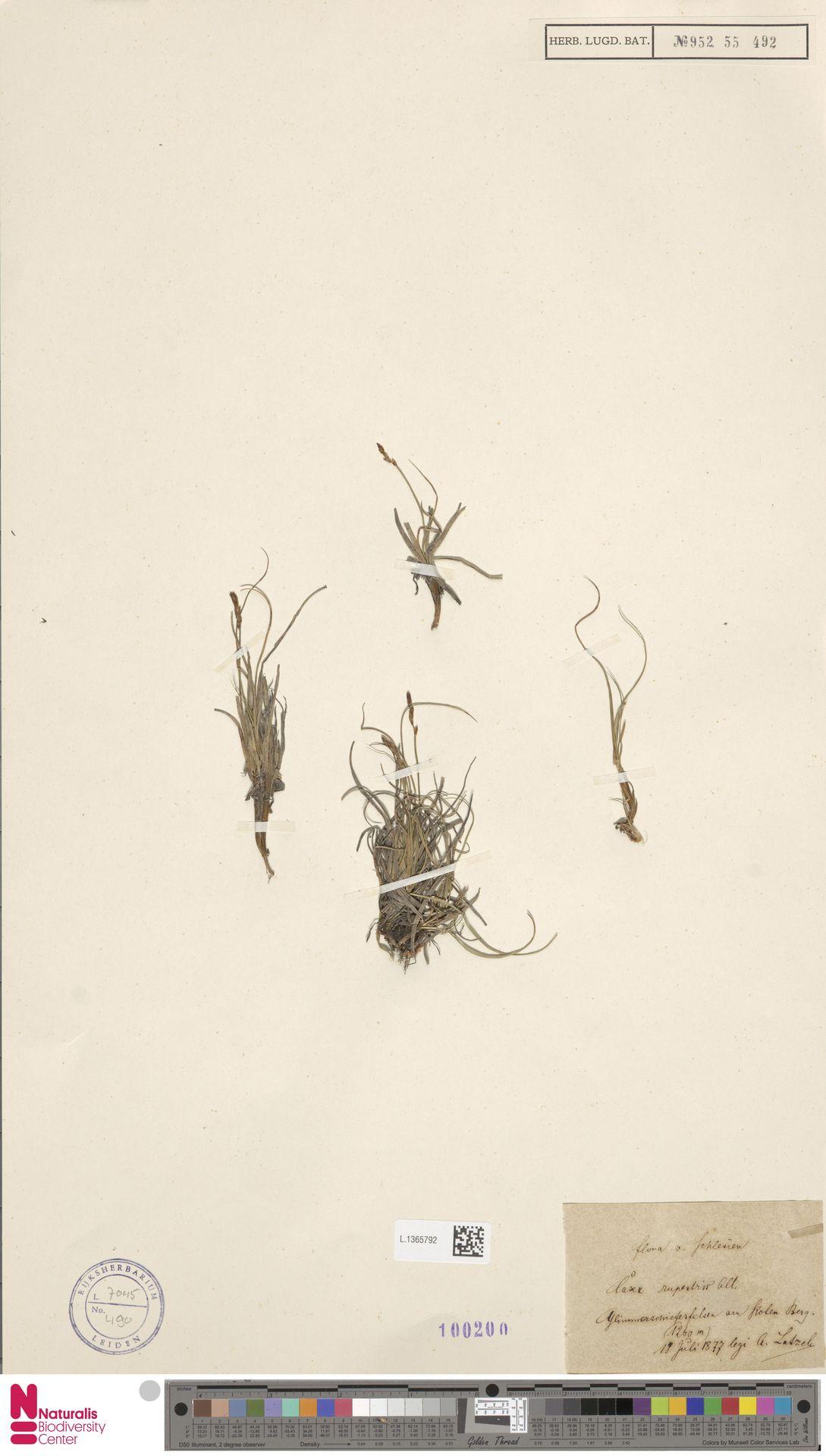 L.1365792 | Carex rupestris All.