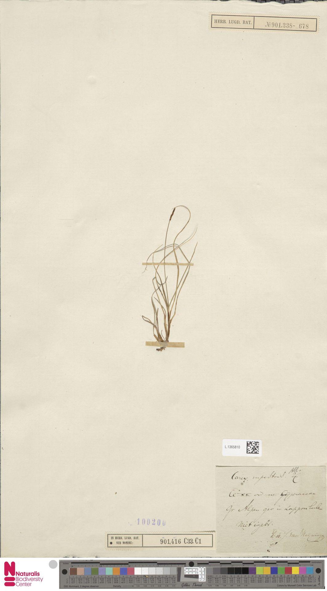 L.1365810   Carex rupestris All.