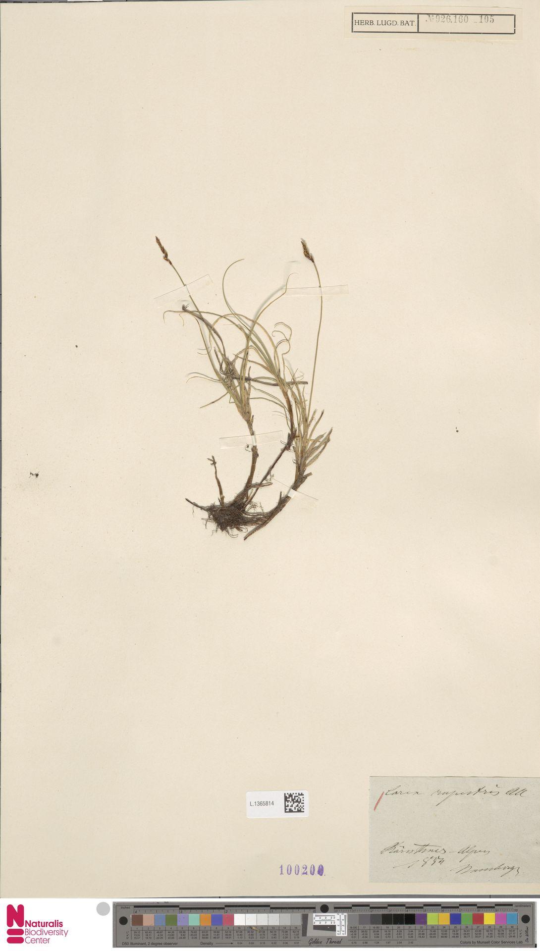 L.1365814 | Carex rupestris All.