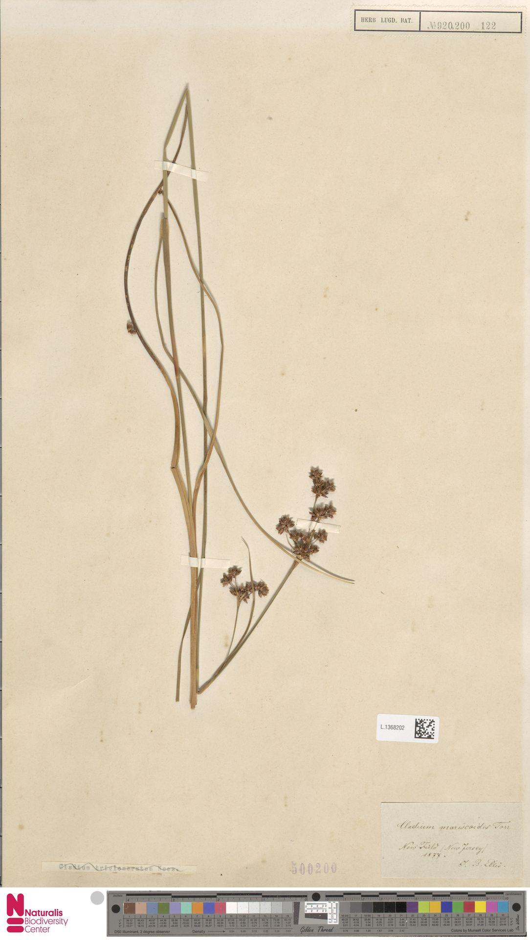 L.1368202 | Cladium mariscoides (Muhl.) Torr.