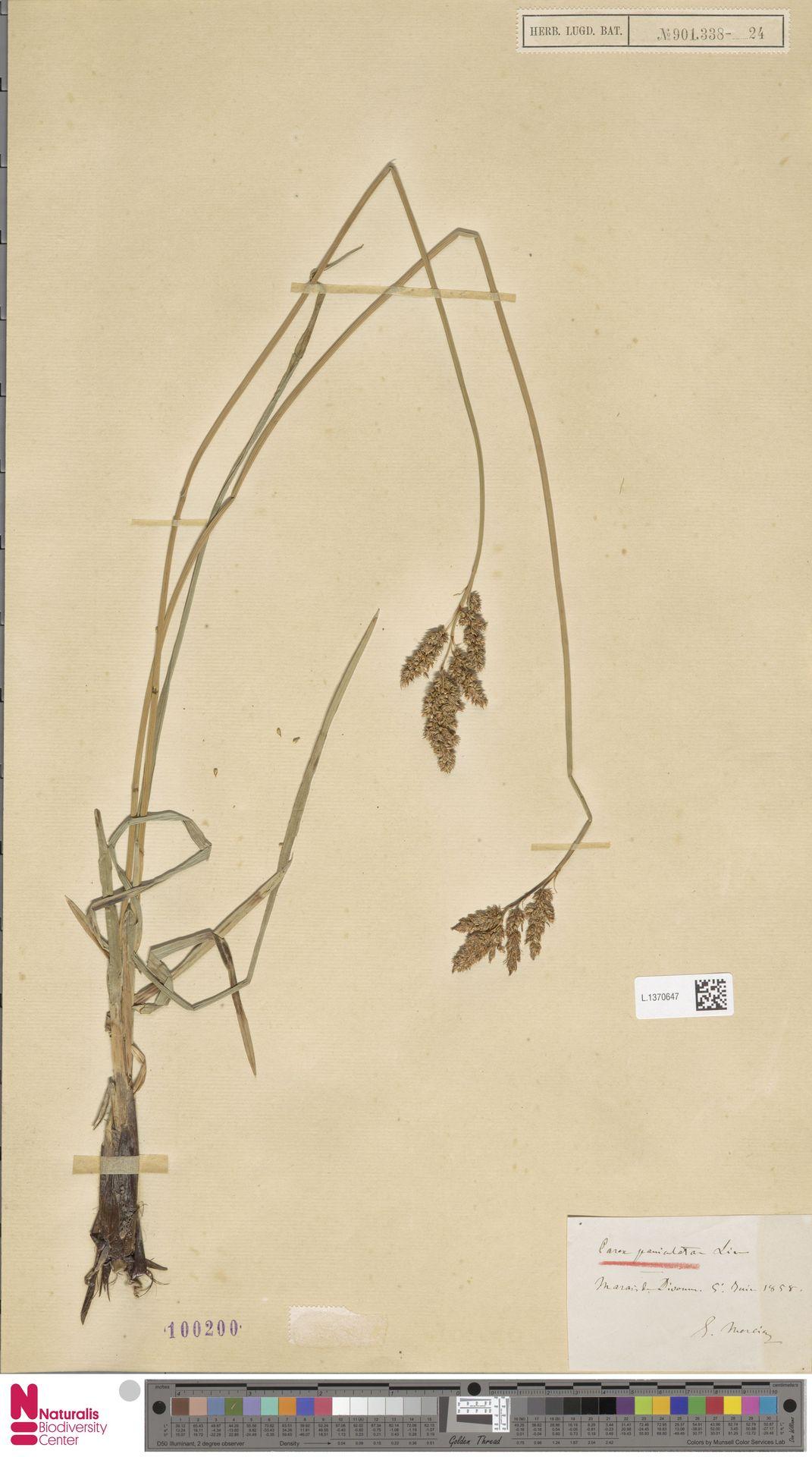 L.1370647 | Carex paniculata L.
