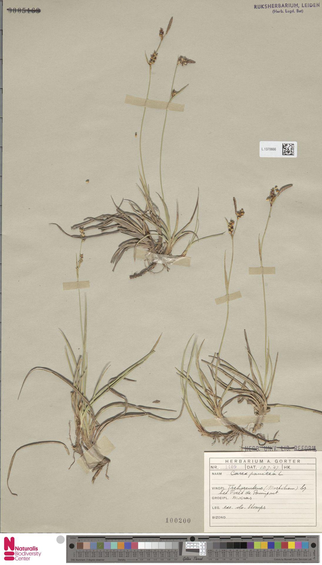 L.1370666   Carex panicea L.