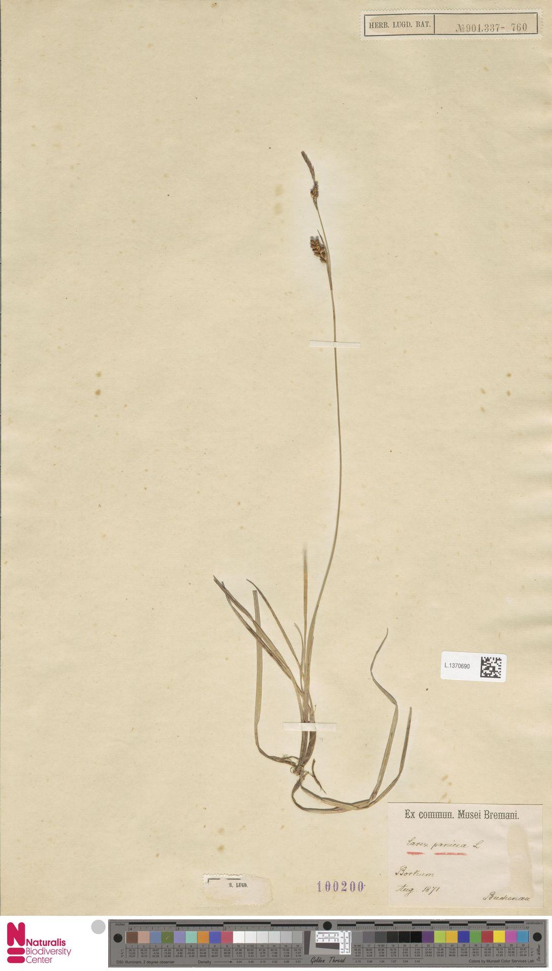 L.1370690 | Carex panicea L.