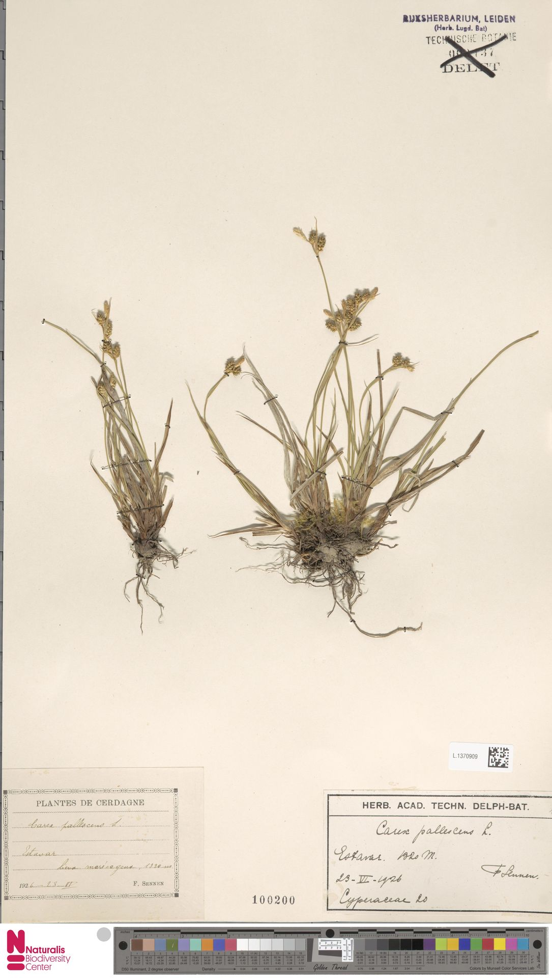 L.1370909 | Carex pallescens L.