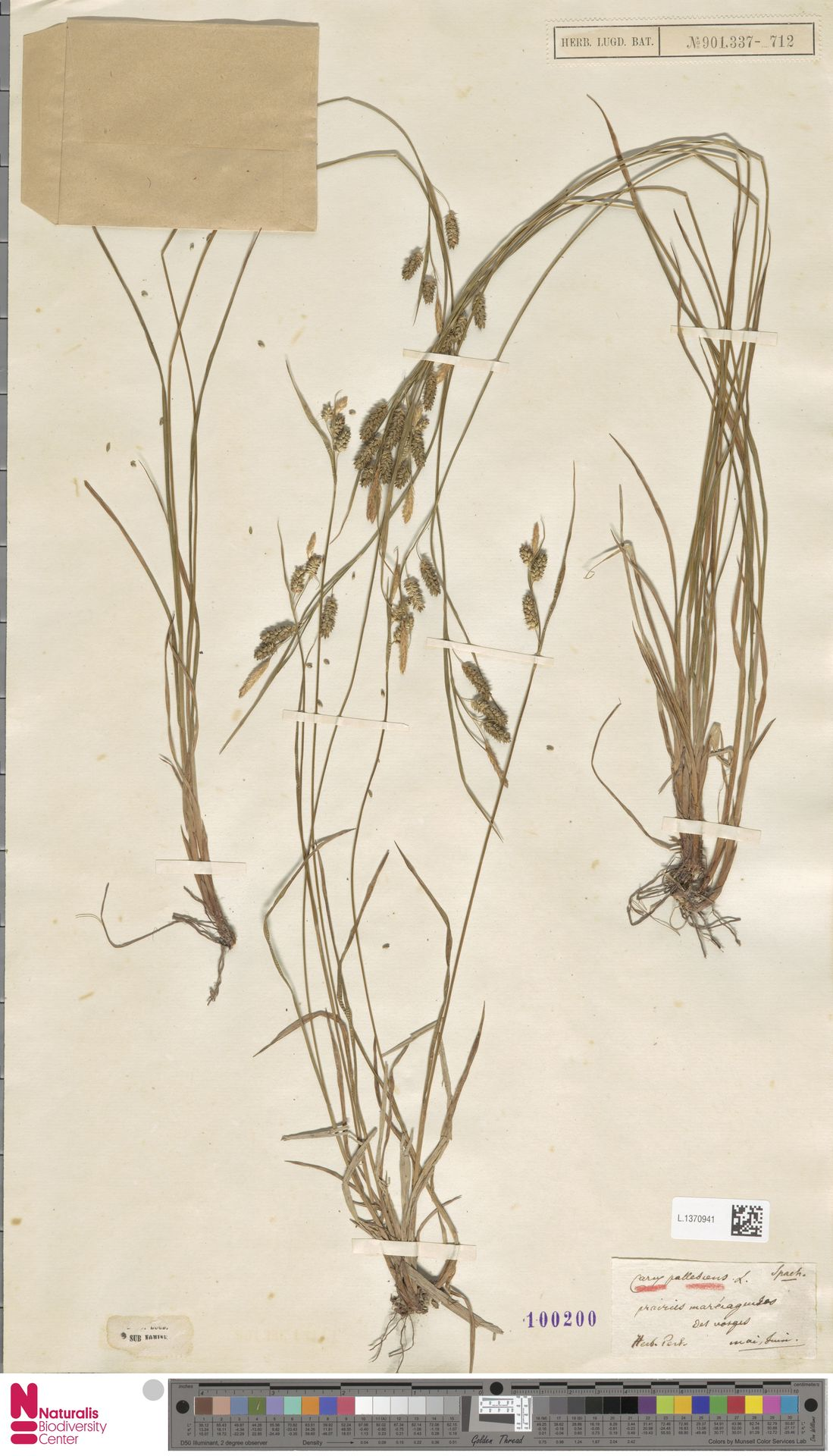 L.1370941 | Carex pallescens L.