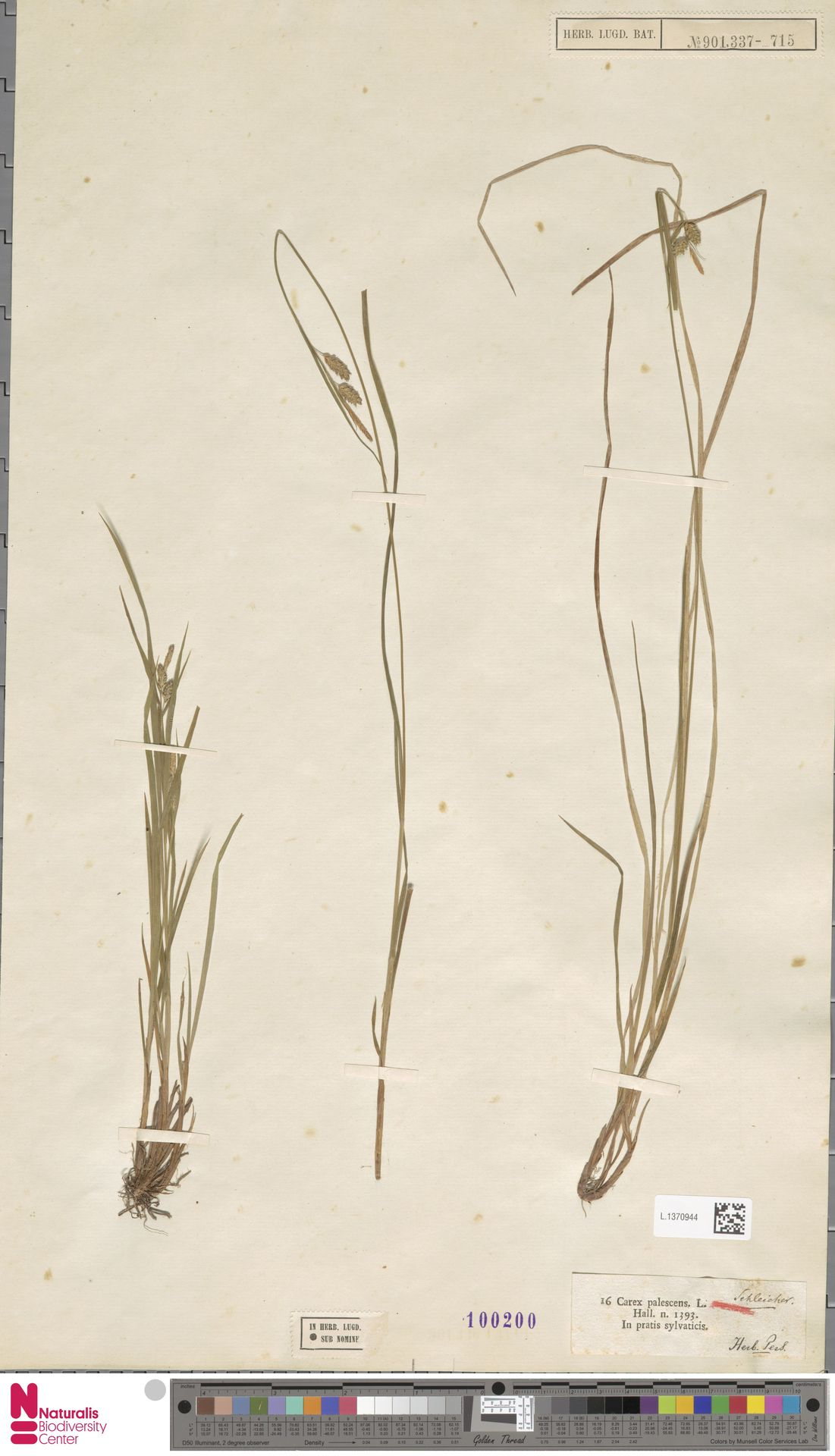 L.1370944 | Carex pallescens L.