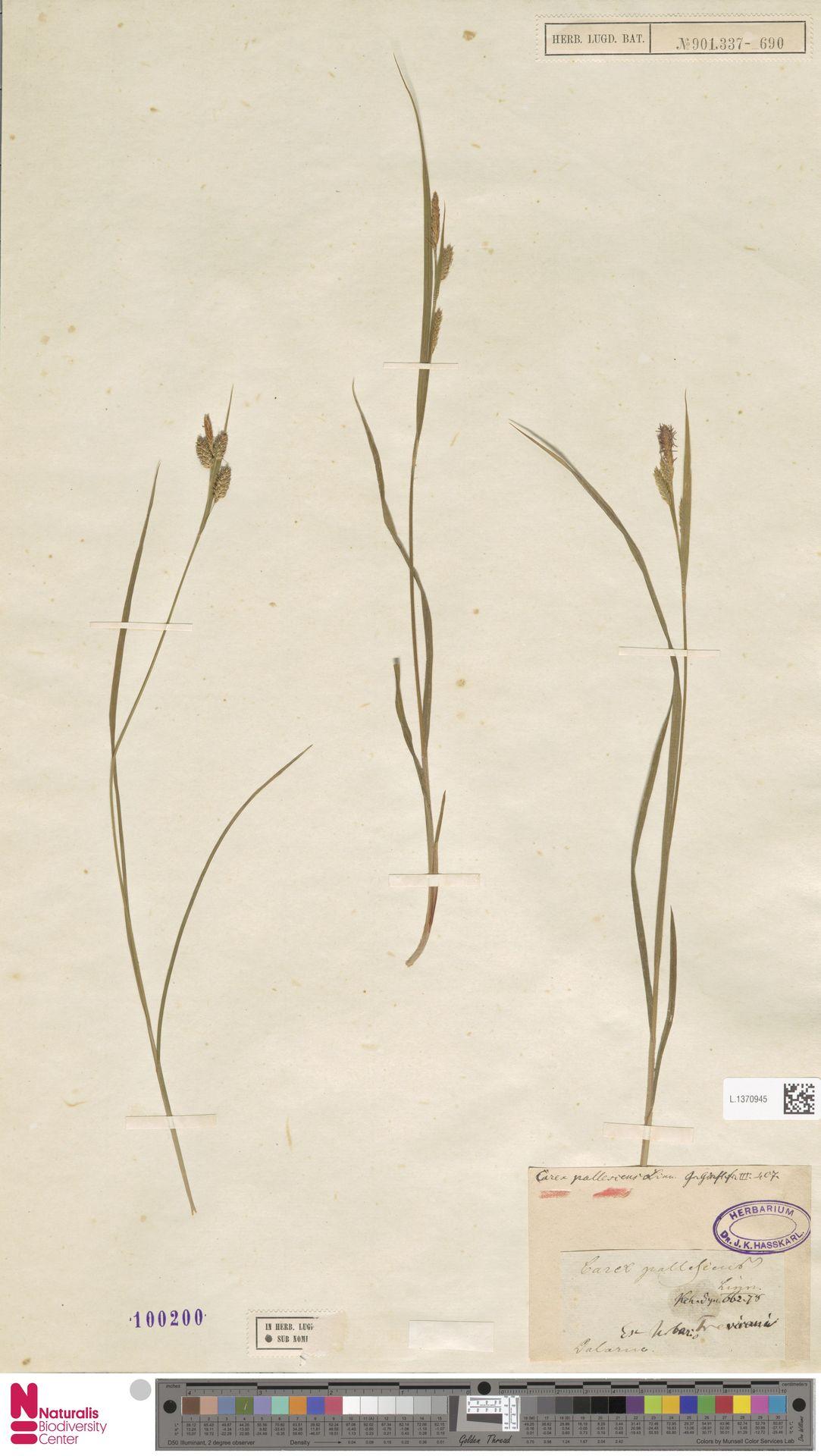 L.1370945   Carex pallescens L.