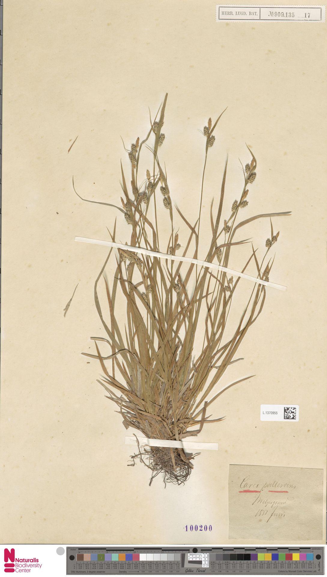 L.1370955   Carex pallescens L.