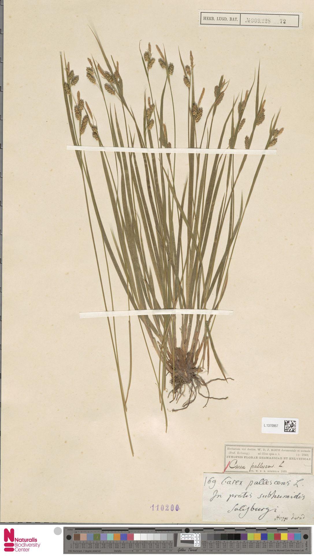 L.1370957 | Carex pallescens L.