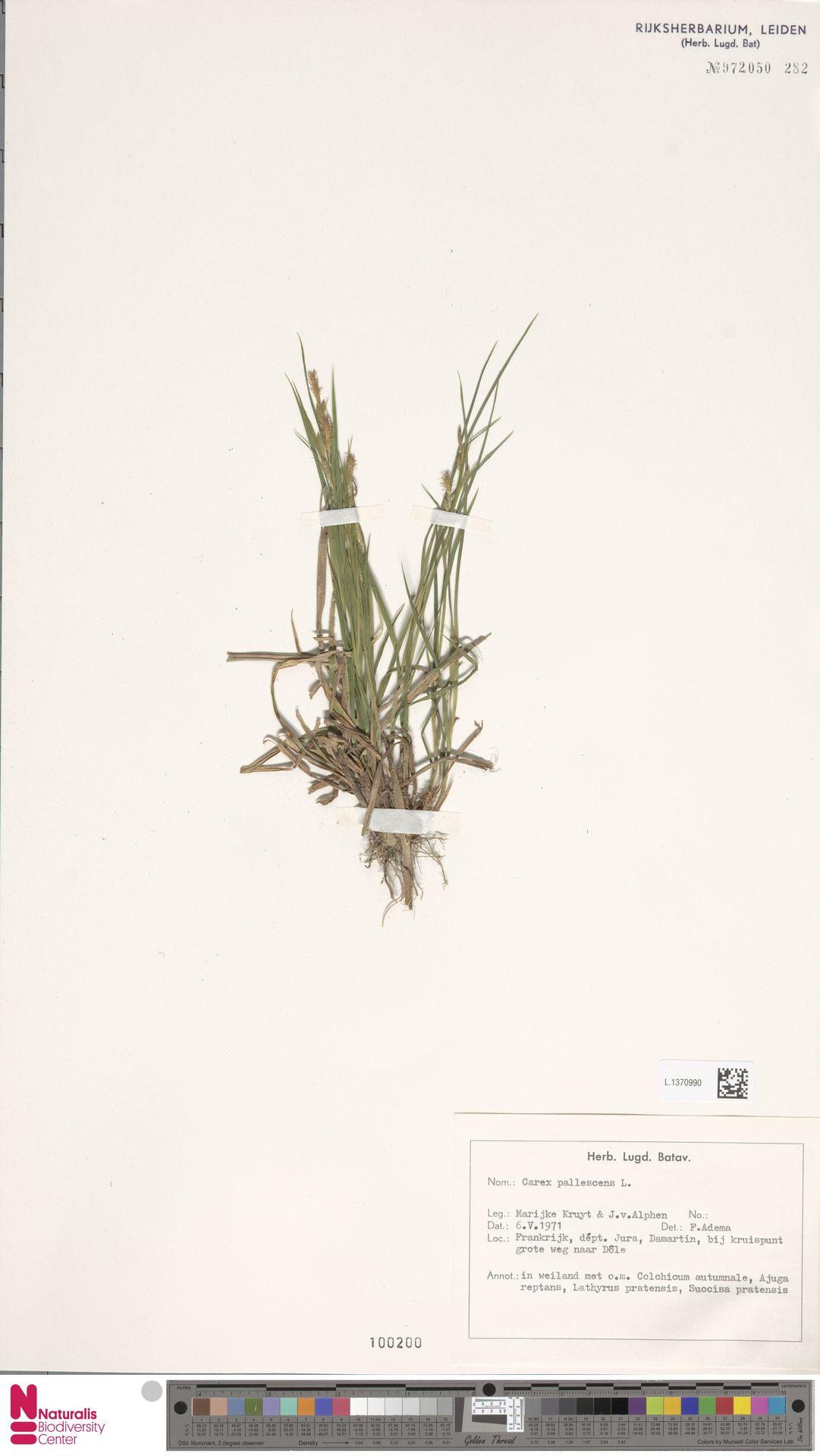 L.1370990 | Carex pallescens L.