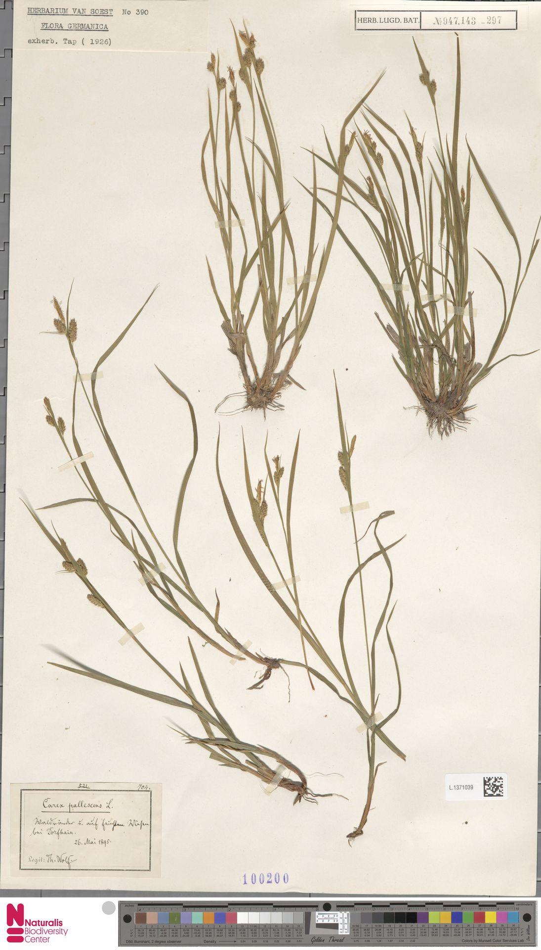 L.1371039 | Carex pallescens L.