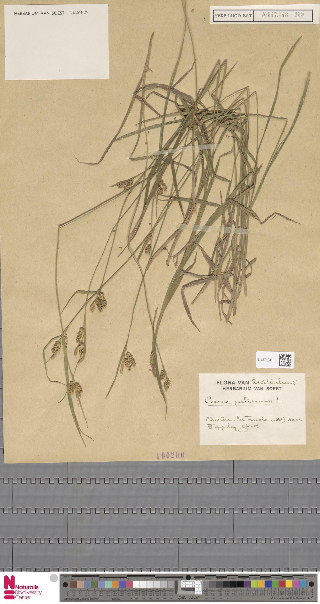 L.1371041 | Carex pallescens L.