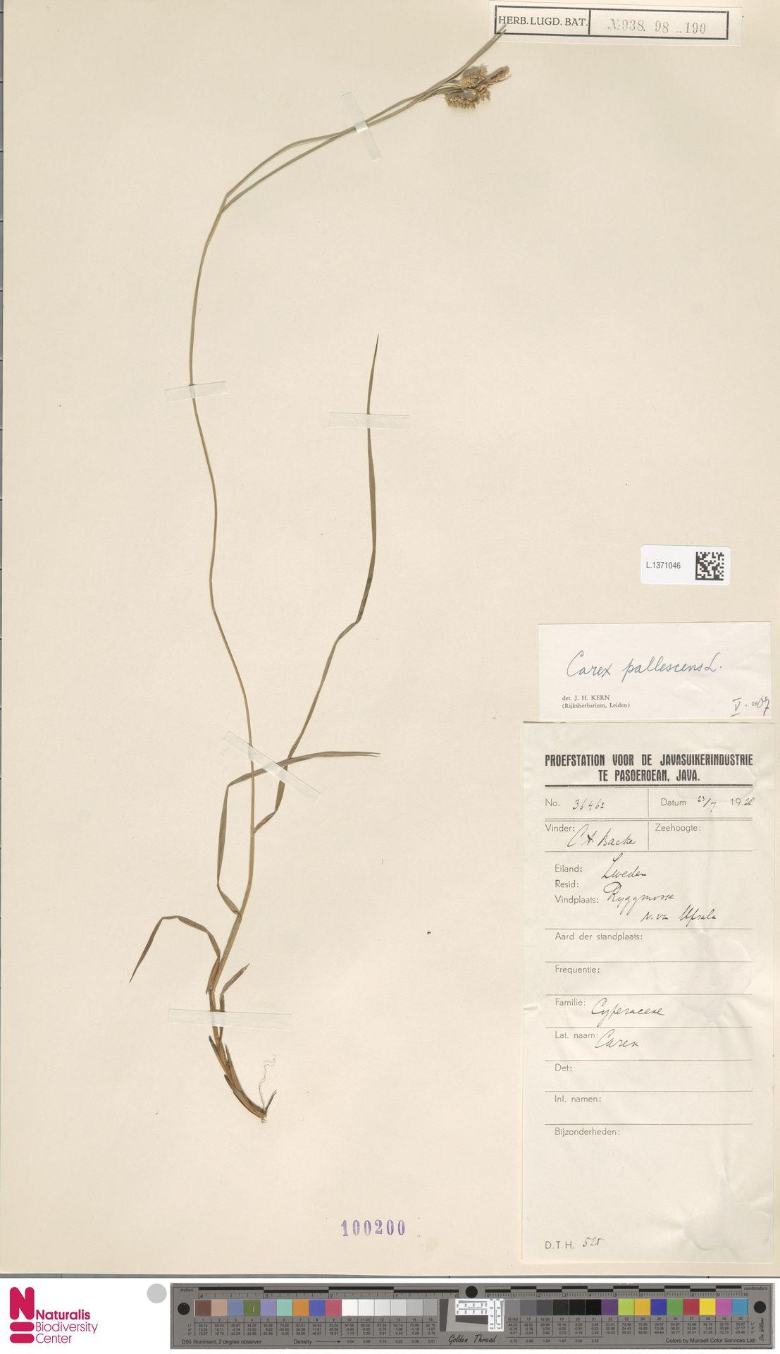 L.1371046   Carex pallescens L.
