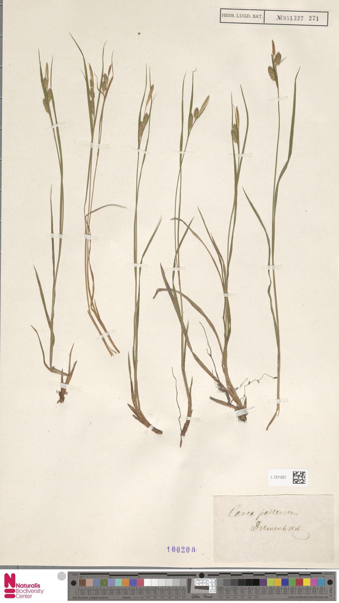 L.1371057 | Carex pallescens L.