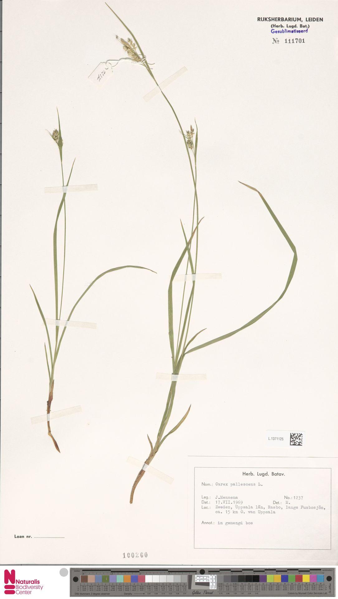 L.1371125   Carex pallescens L.