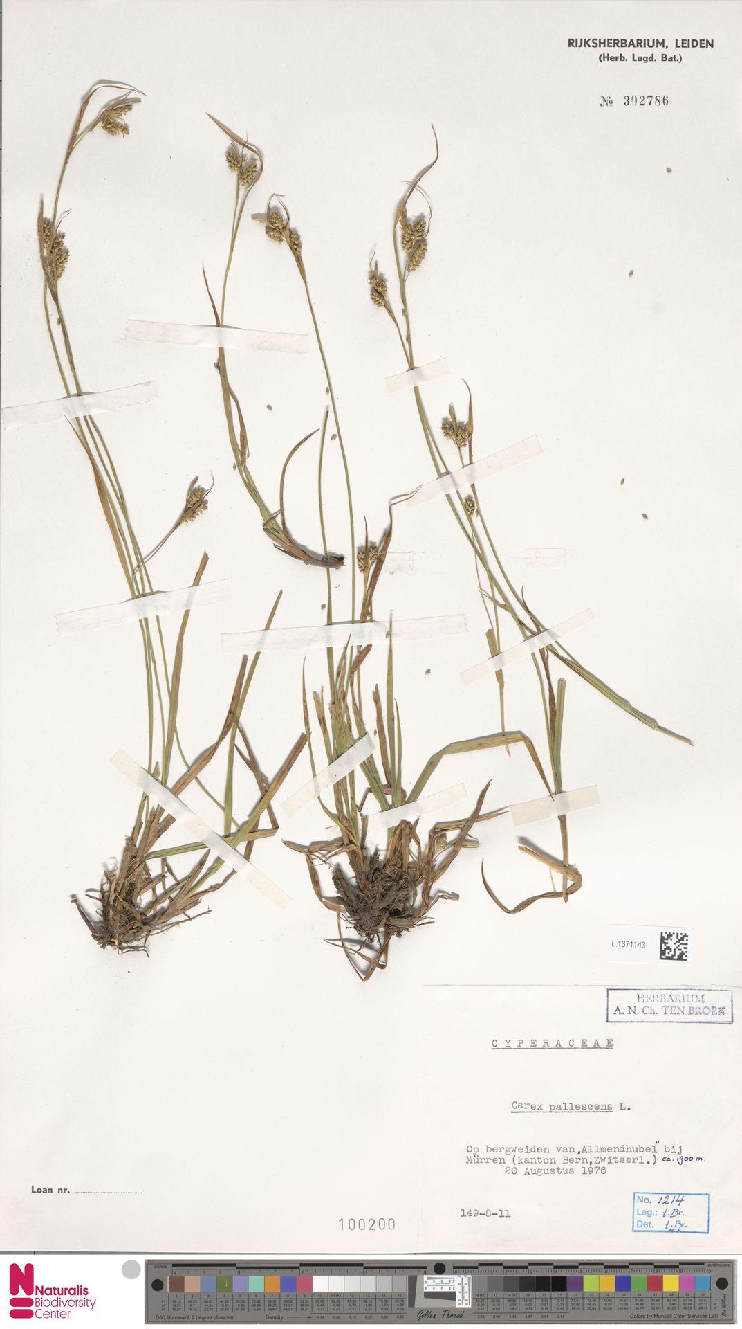 L.1371143   Carex pallescens L.