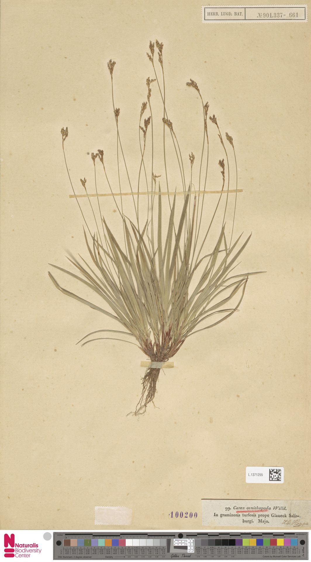 L.1371255 | Carex ornithopoda Willd.