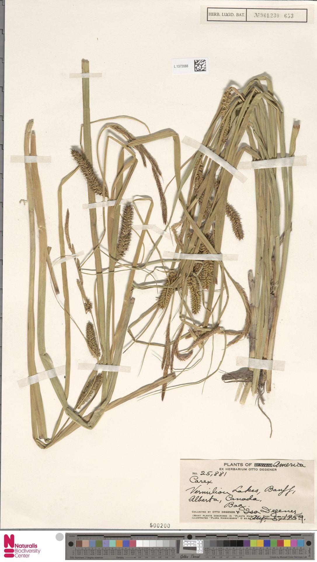 L.1372088 | Carex utriculata Boott