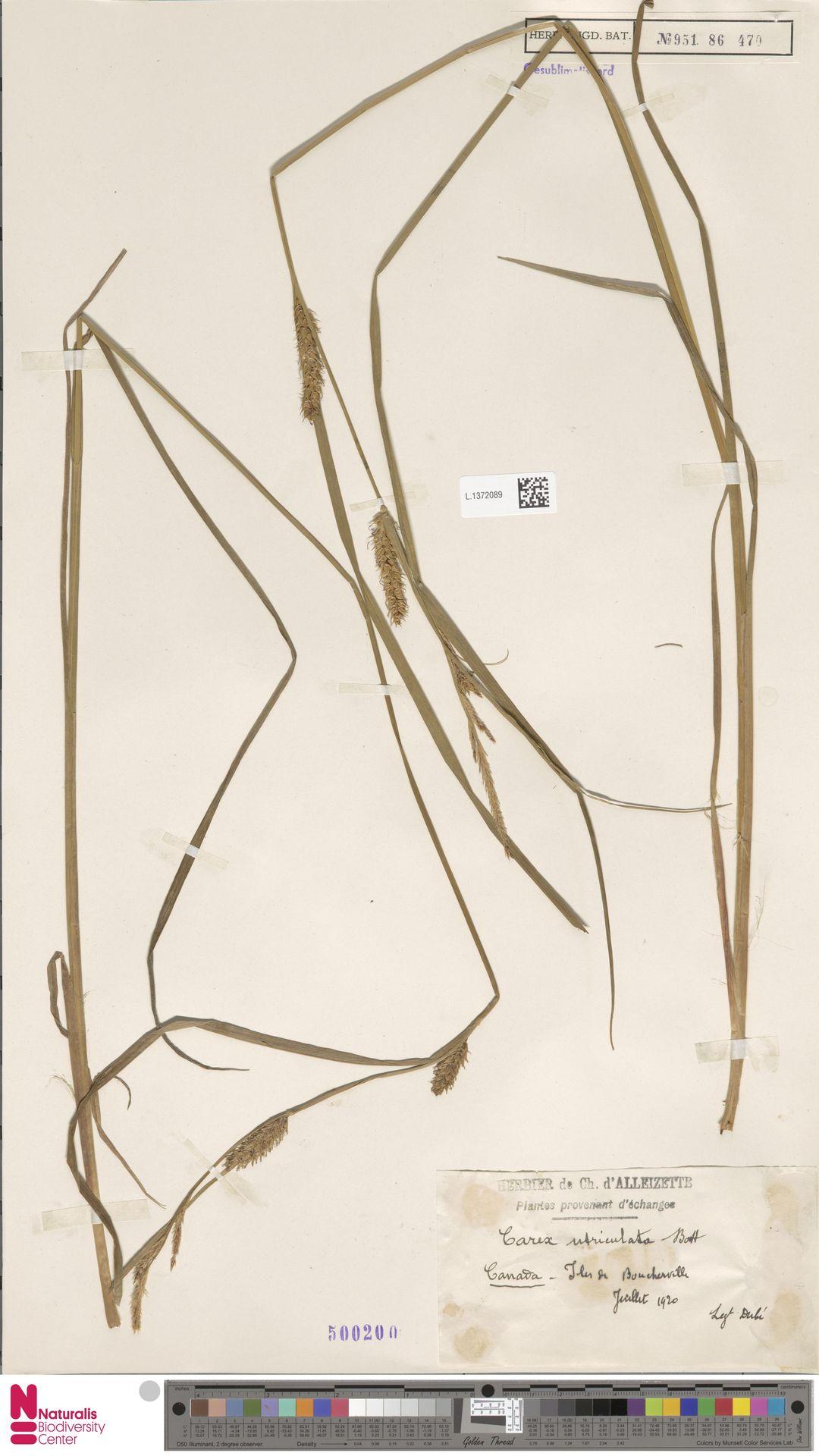 L.1372089 | Carex utriculata Boott