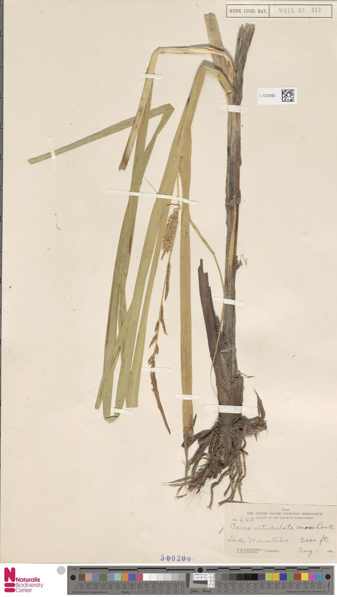L.1372090 | Carex utriculata Boott