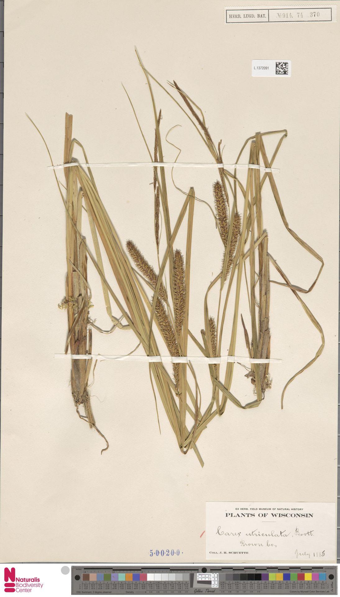 L.1372091 | Carex utriculata Boott