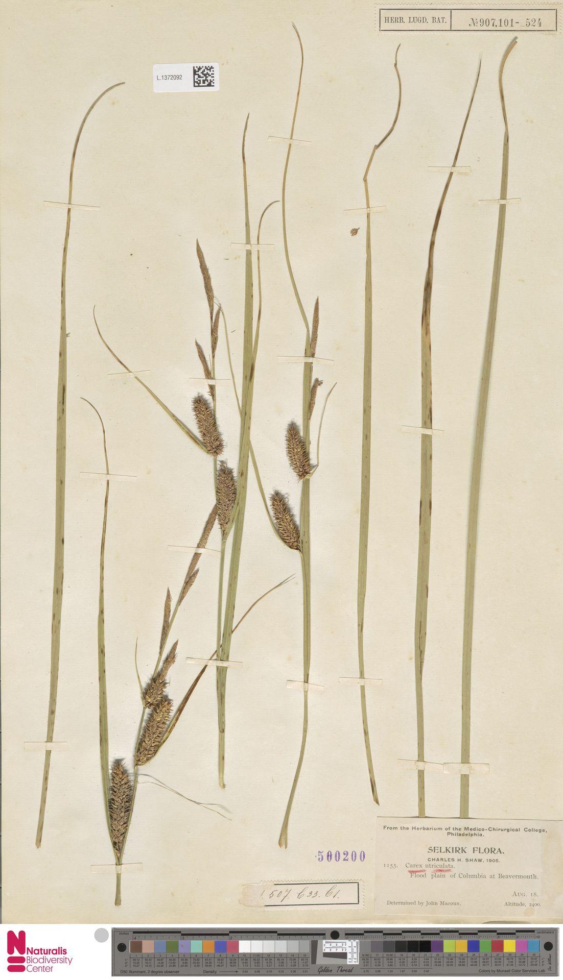 L.1372092 | Carex utriculata Boott