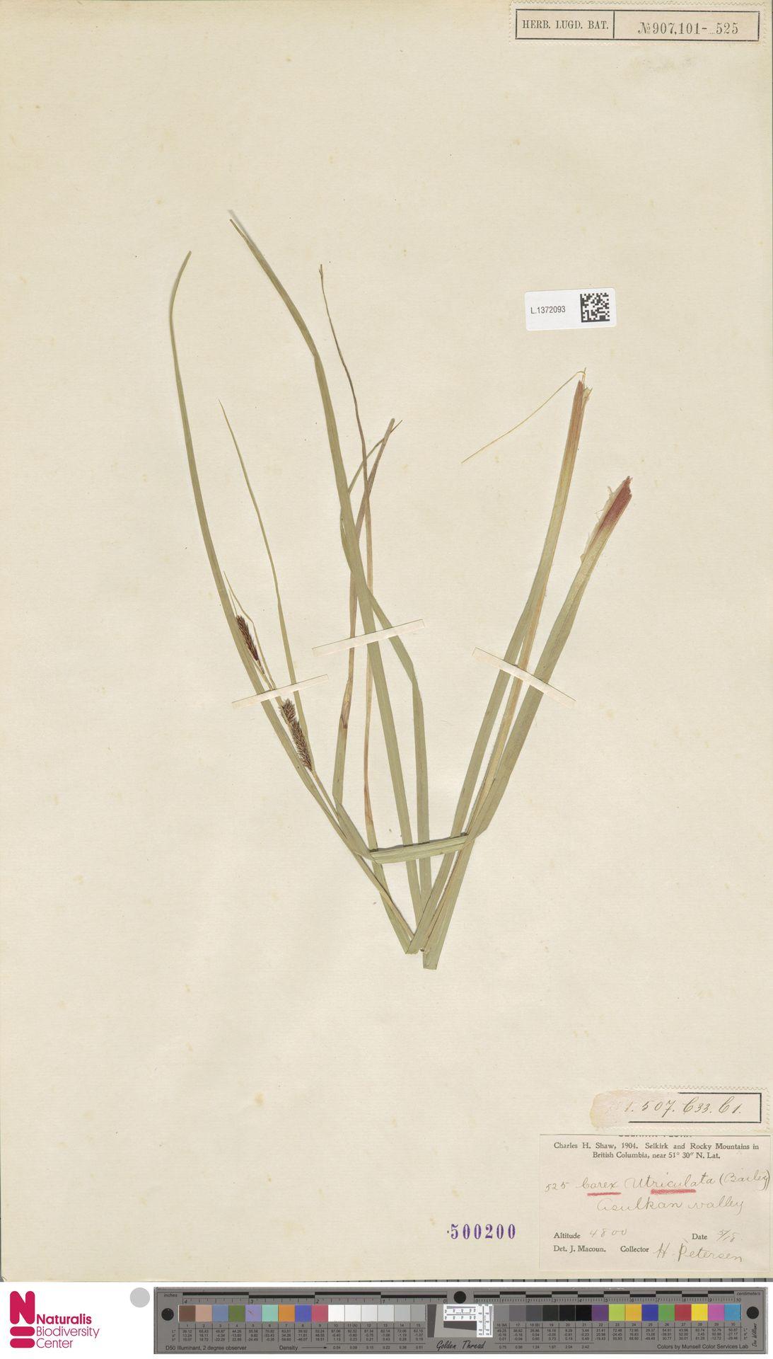 L.1372093 | Carex utriculata Boott