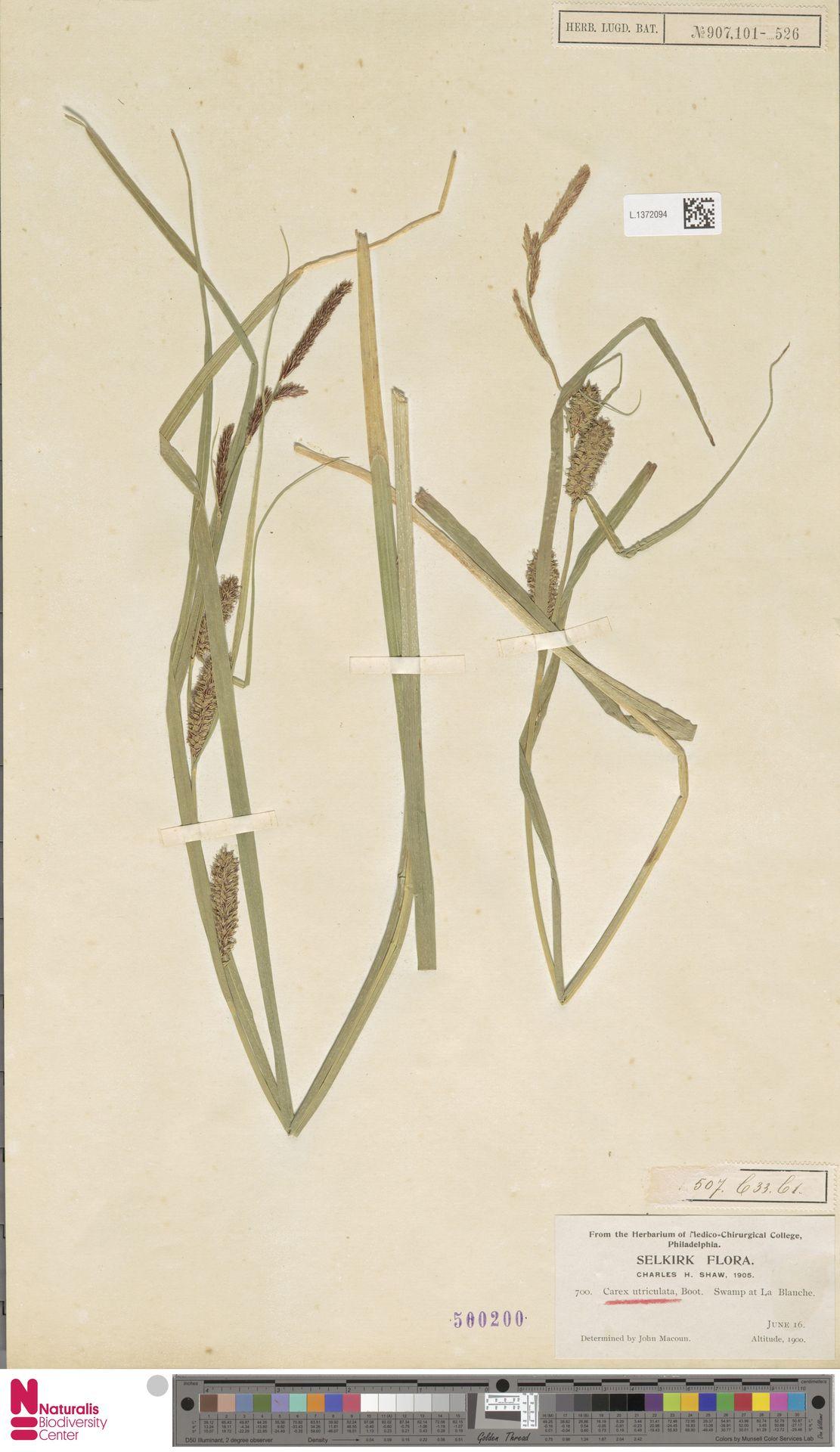 L.1372094 | Carex utriculata Boott