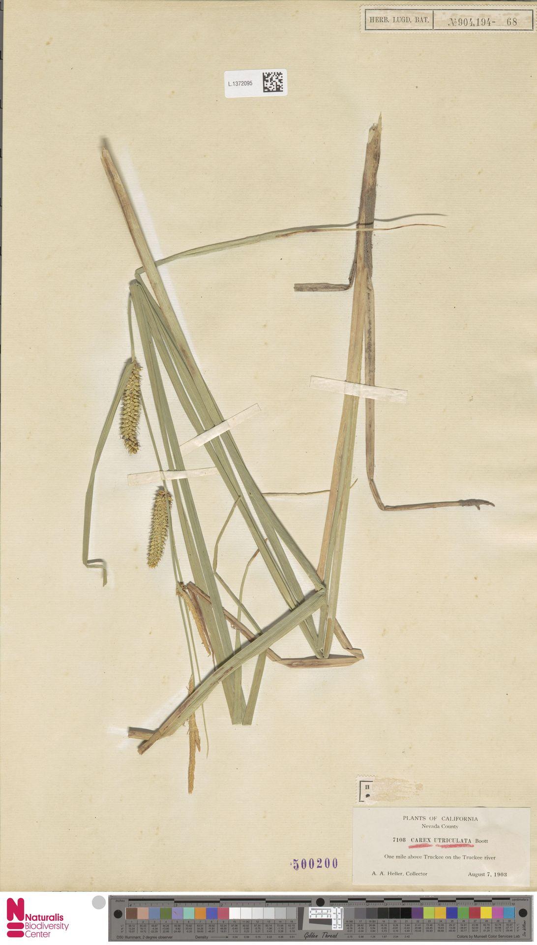 L.1372095 | Carex utriculata Boott