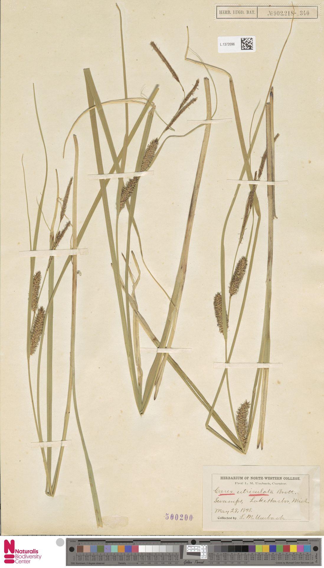 L.1372096 | Carex utriculata Boott
