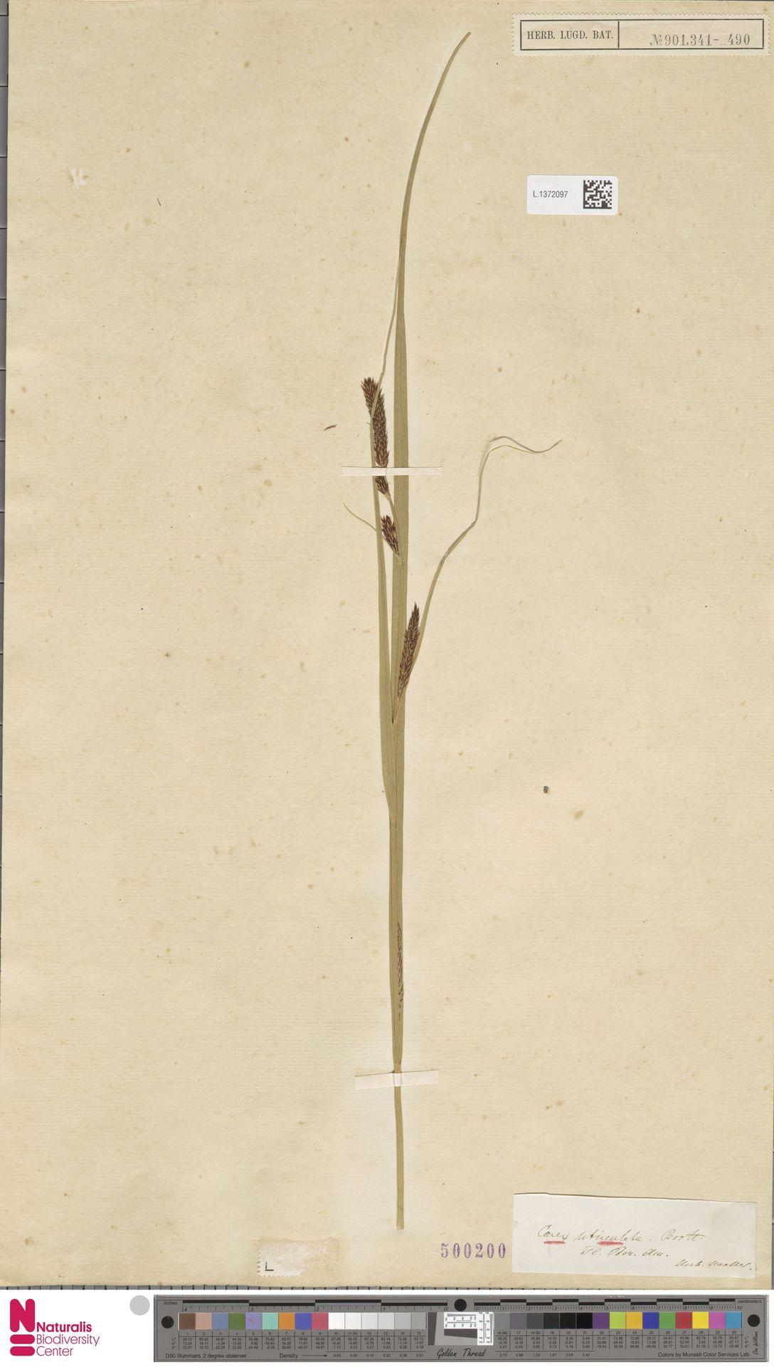 L.1372097 | Carex utriculata Boott