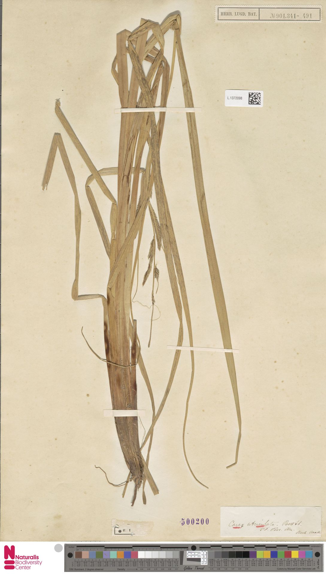 L.1372098 | Carex utriculata Boott
