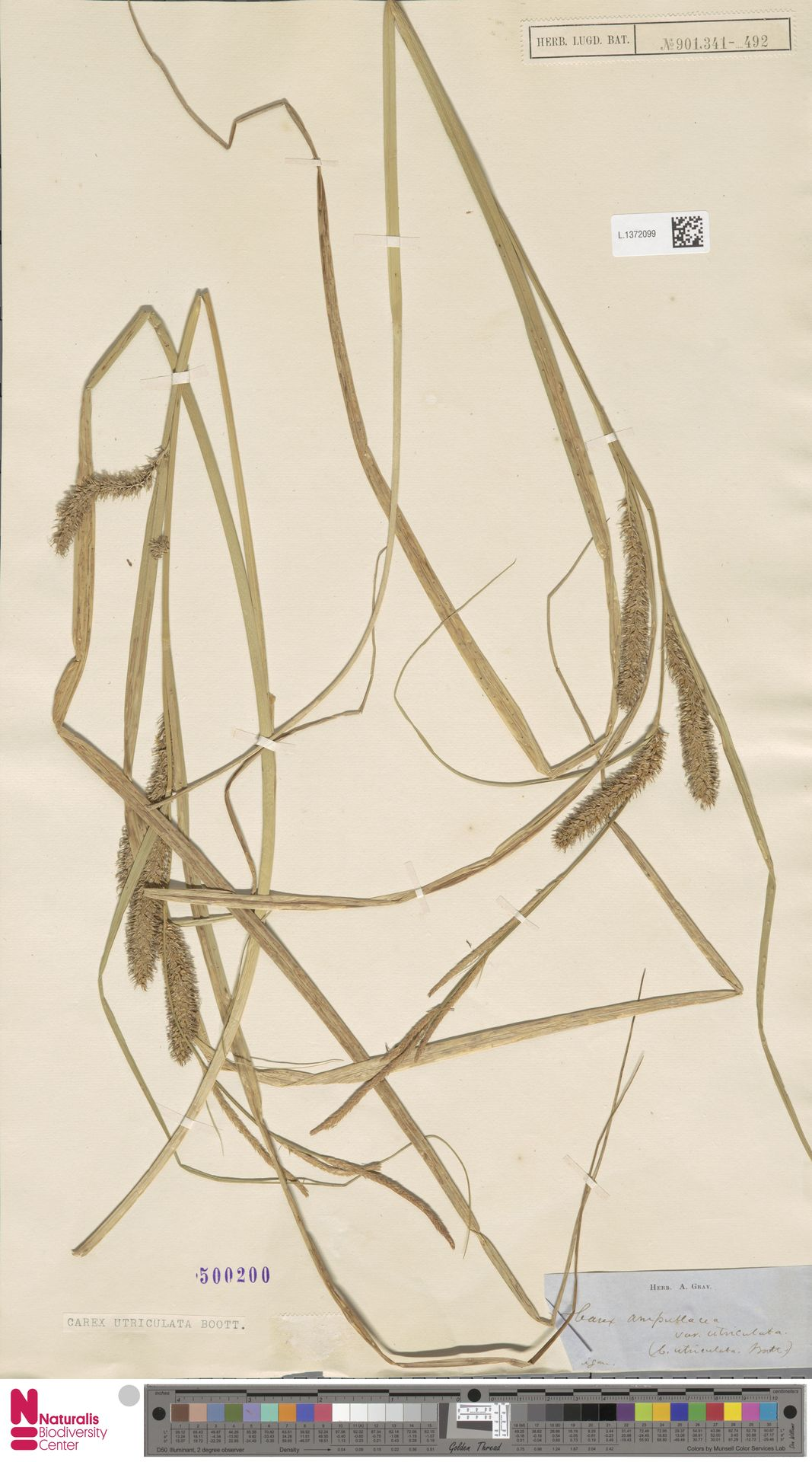 L.1372099 | Carex utriculata Boott