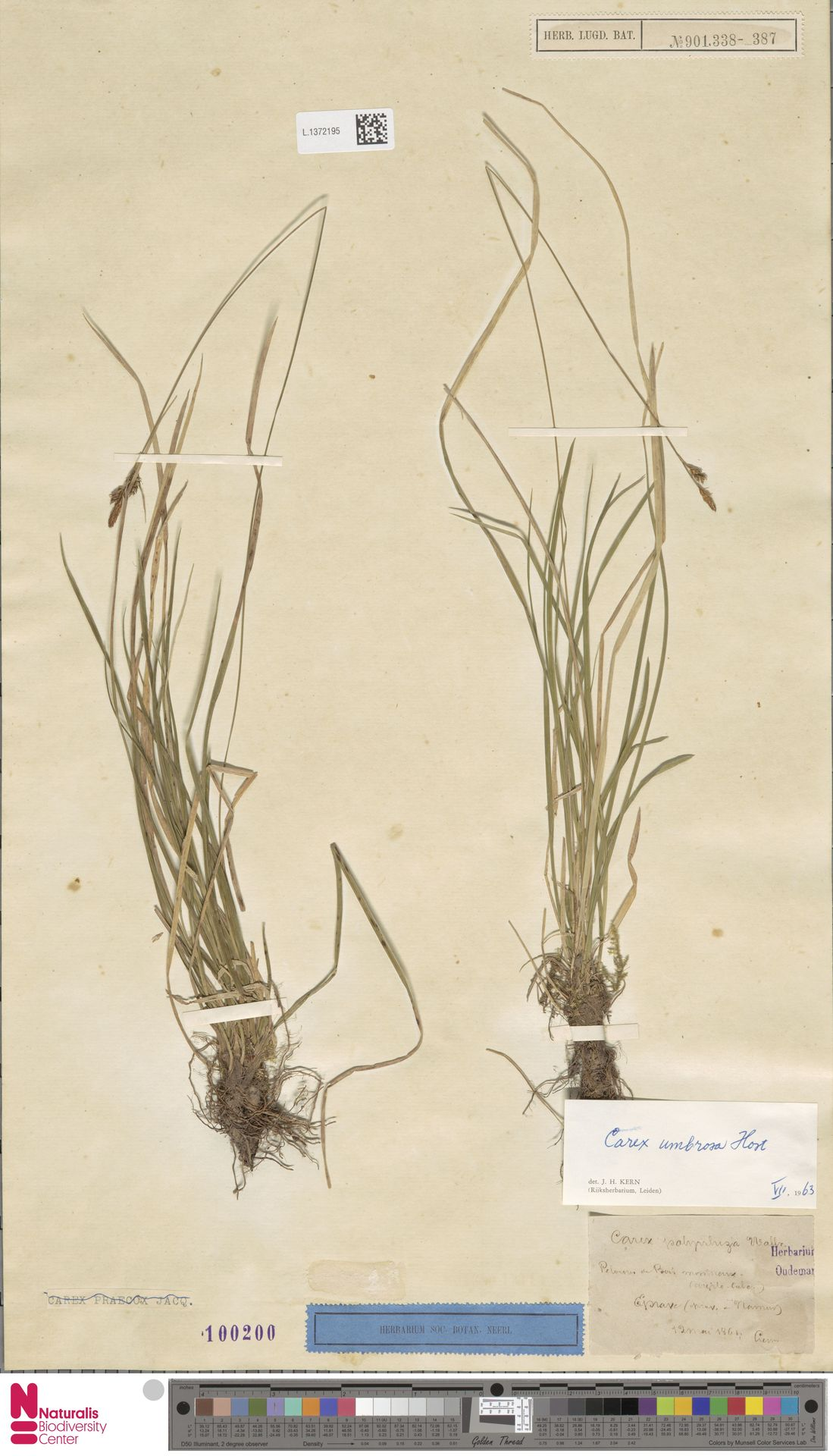 L.1372195 | Carex umbrosa Host