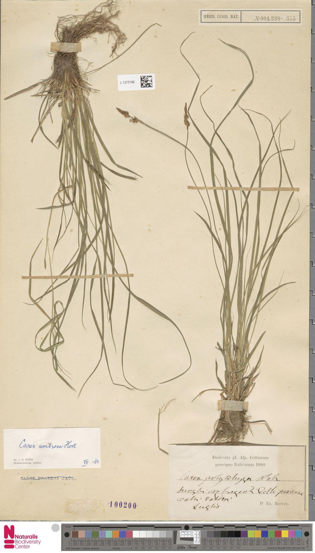 L.1372196   Carex umbrosa Host