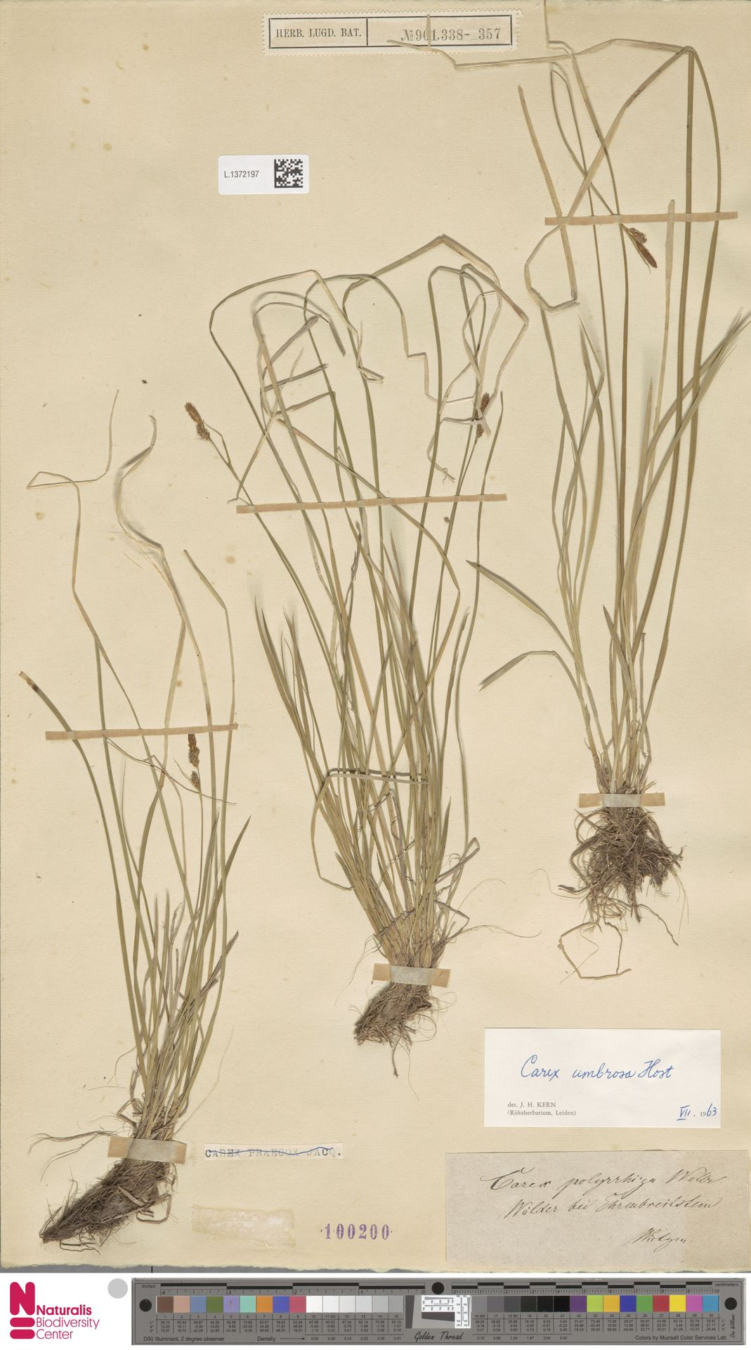 L.1372197 | Carex umbrosa Host