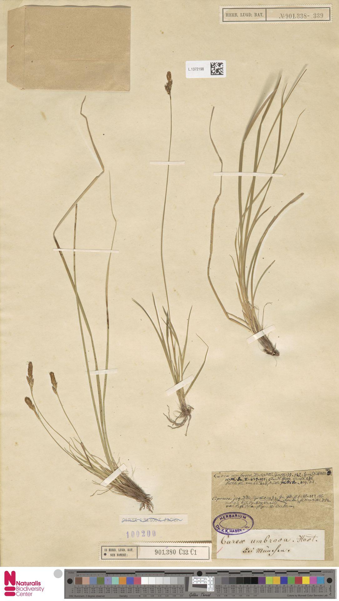 L.1372198 | Carex umbrosa Host