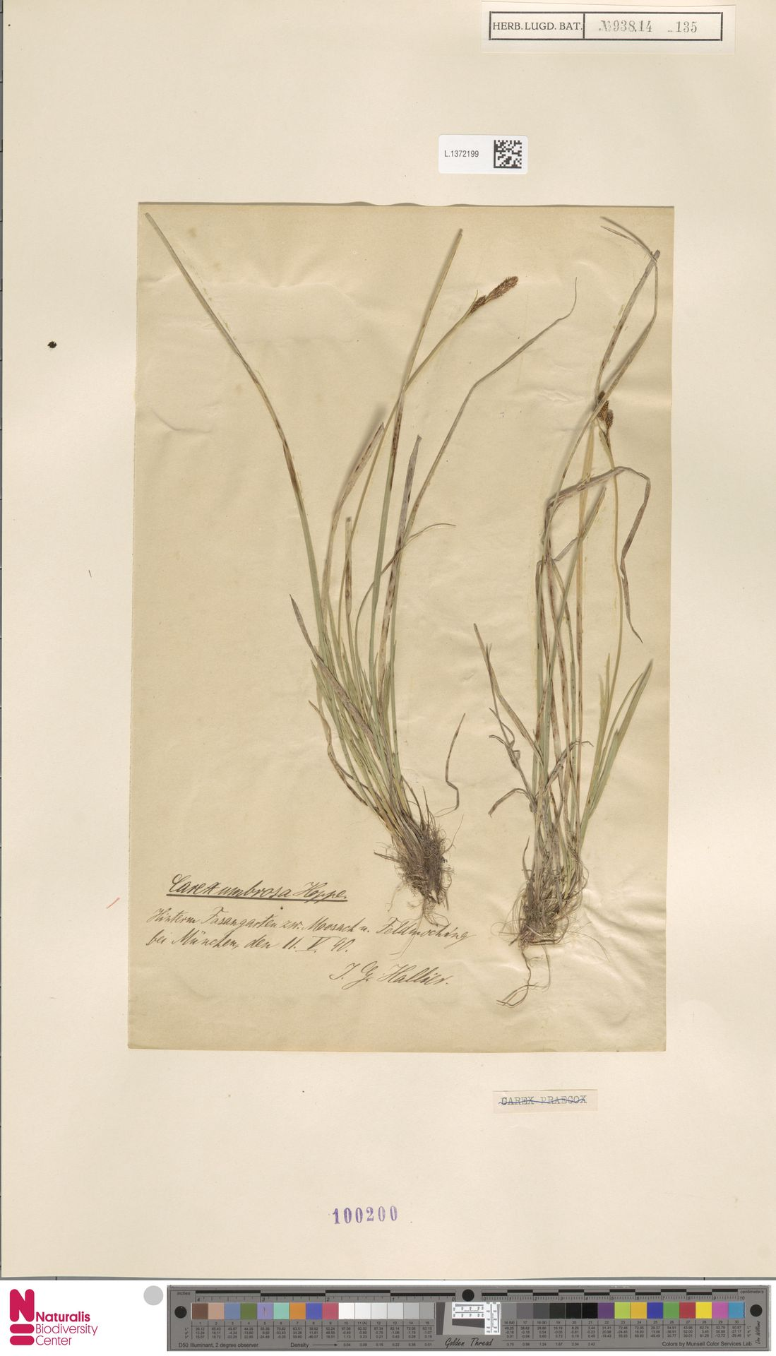 L.1372199 | Carex umbrosa Host