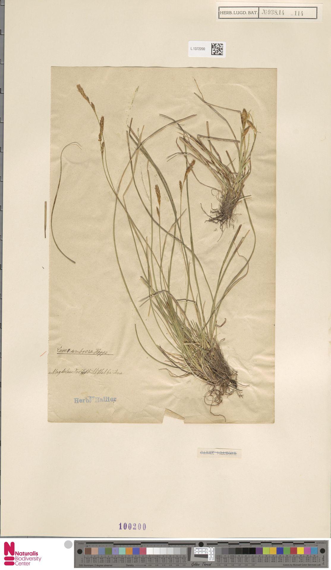 L.1372200 | Carex umbrosa Host