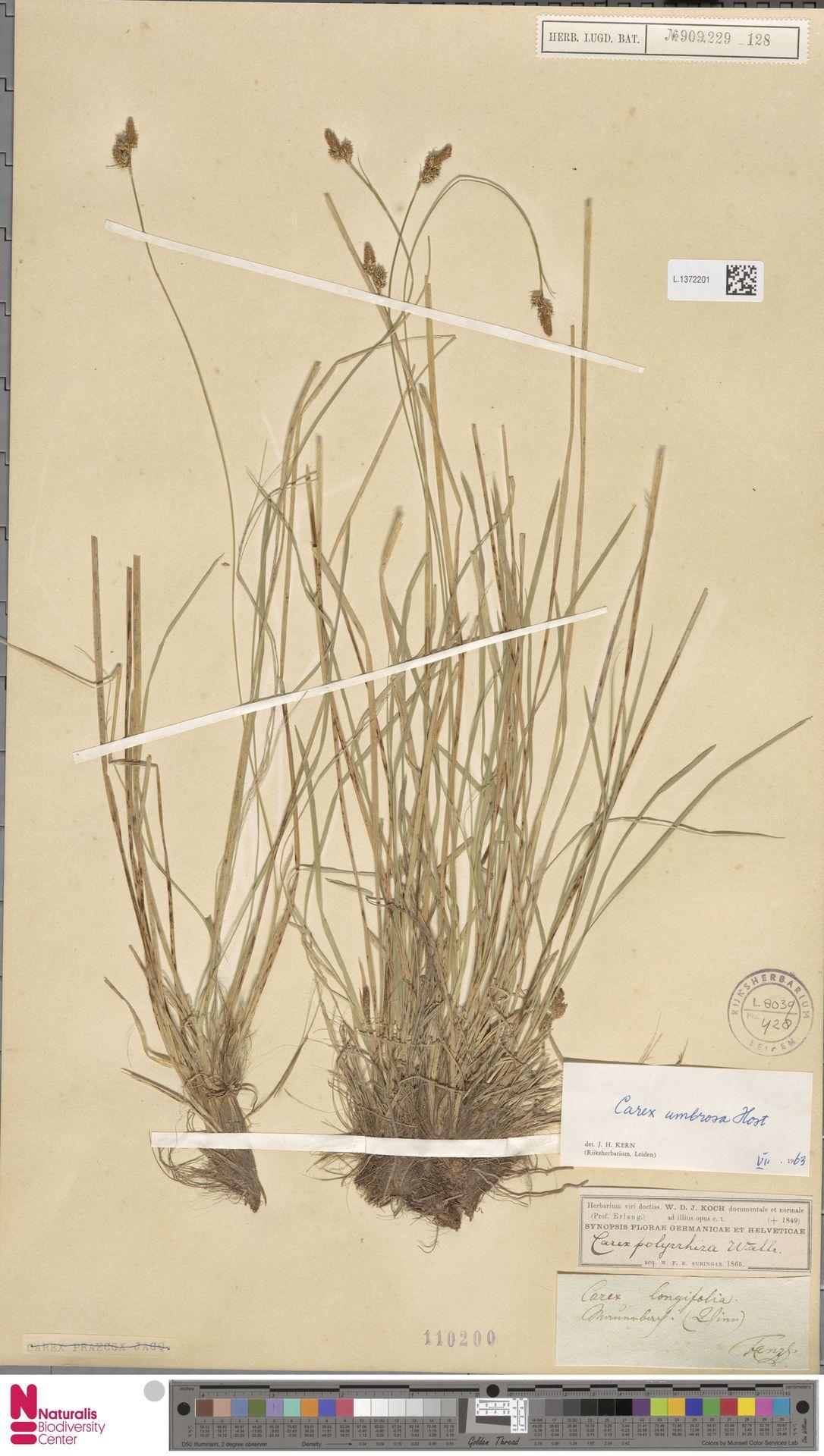 L.1372201   Carex umbrosa Host