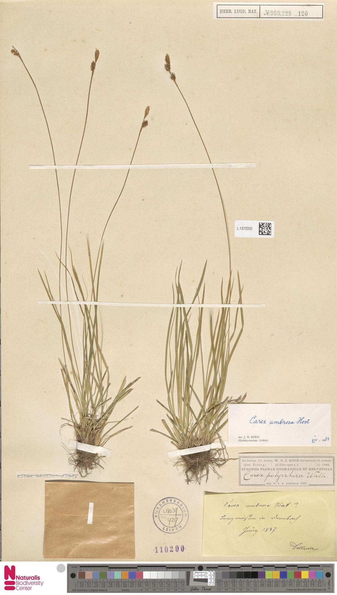 L.1372202 | Carex umbrosa Host