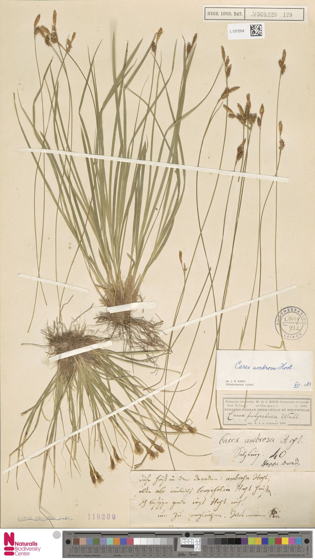 L.1372204 | Carex umbrosa Host